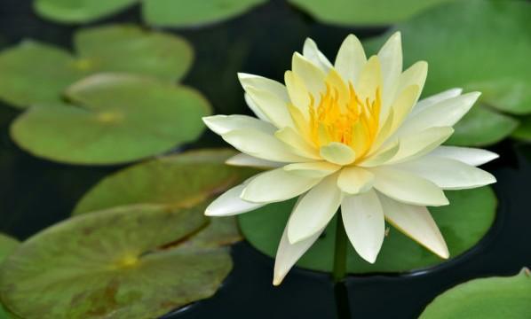 The lotus leaf green
